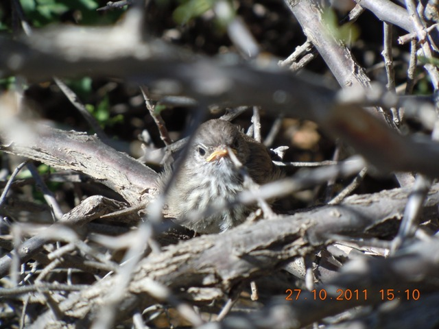 Karoo Prinia chick on nest 2011